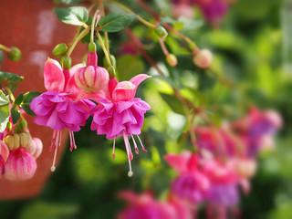 Pink fuchsia flowers in garden