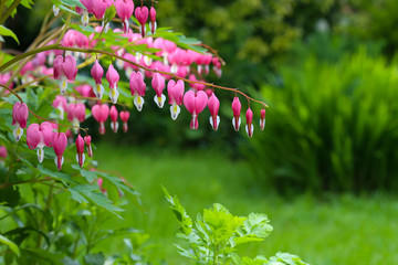 Bleeding heart flower (Dicentra Spectabils) lyre flower love hea