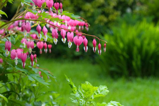 Bleeding heart flower (Dicentra Spectabils) lyre flower love hea