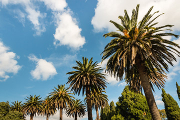 date palm and cypress trees against blue sky