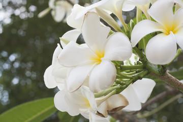 White plumeria on the plumeria tree