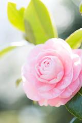 椿,camellia japonica