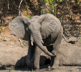 African Bush Elephant Taking A Mud Shower In A Waterhole, South Luangwa  National Park,