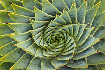 Close up of spiral aloe