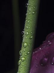Rain-soaked flower stalk, Regennasser Blumenstiel