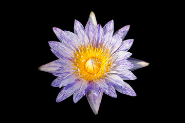 Lotus, water lily,  waterlilly isolated on black background
