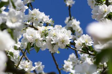 Fototapete - weiße Apfelblüten am Apfelbaum mit blauem Himmel im Hintergrund
