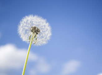 Canvas Prints Dandelion Dandelion with seeds blowing away