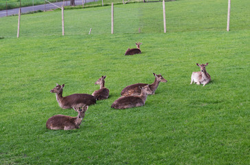Deer family in green grass enclosure with fence