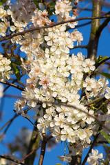 Fototapete - weiße Kirschblüten am Kirschbaum mit blauem Himmel im Hintergrund