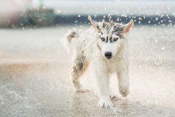 siberian husky puppy shakes the water off its coat.