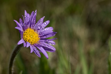 Aster alpinus with dew