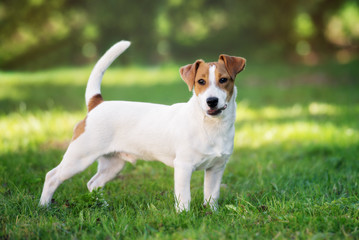 young jack russell terrier dog outdoors in summer