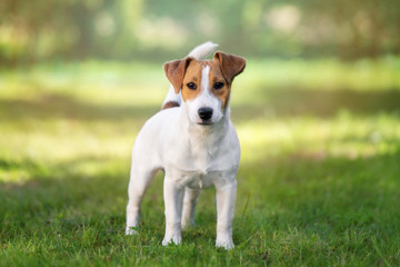 young jack russell terrier dog standing outdoors Wall mural