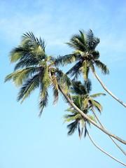 Coconut palms in the sky