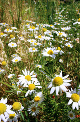 Wild daisies, many blurred flowers in the field, camomile on a s