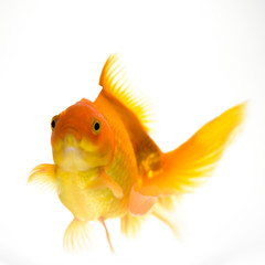 Goldfish in aquarium