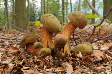 Suillellus luridus (formerly Boletus luridus), commonly known as the lurid bolete with forest trees in the background