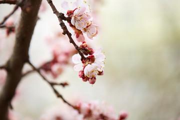 Spring blossom tree