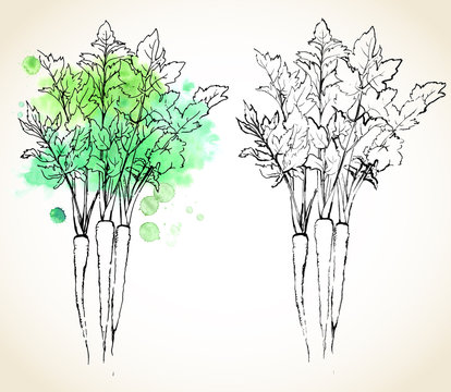 Parsnip (Pastinaca sativa) roots with leaves, painted with watercolor splashes and dark outlines. Vector illustration.