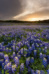 Beautiful Bluebonnets field at sunset near Austin, Texas in spri