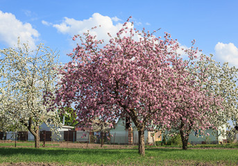 Blossom pink and white trees in garden, belarus
