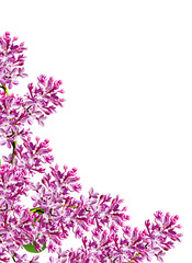 spring flowers  lilac; isolated on white background