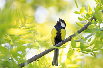 Printed roller blinds Bird bird blue tit sings a song among the young green of the tree in early spring