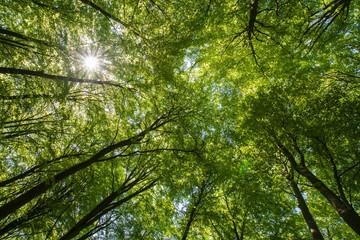 Trädkronor i en bokskog där solen skiner igenom