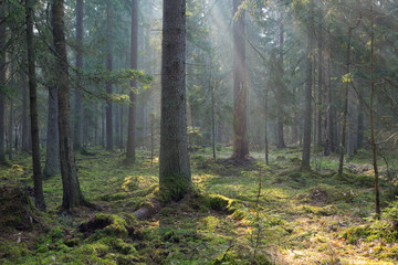 Wall Mural - Sunbeam entering old coniferous stand of Bialowieza Forest