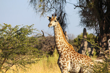 The baby giraffe in the field