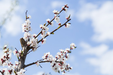 Blooming apricot tree in the garden