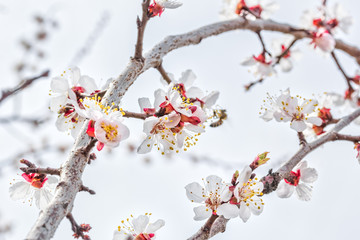 Flowering branch of an apricot tree in the orchard