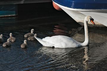 Mute Swan (cygnus olor) with cygnets