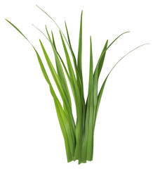 Blade of grass isolated on white