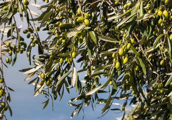 olive tree with ripe green olives