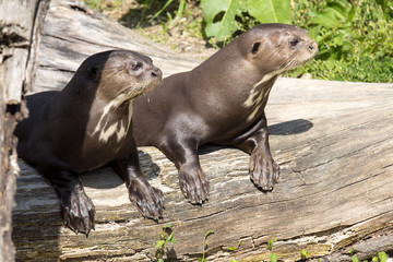 Giant Otter, Pteronura brasiliensis, watching nearby
