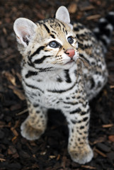 Ocelot Cub - Brazilian Ocelot kitten looking up