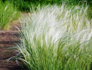 Stipa or feather grass known as a needle grass.