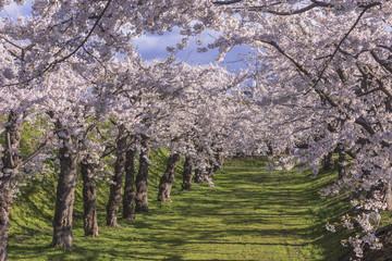 五稜郭公園内の桜の花