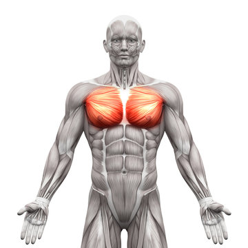 Chest Muscles - Pectoralis Major and Minor - Anatomy Muscles