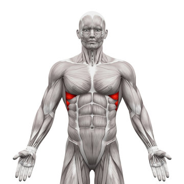 Serratus Anterior Muscles - Anatomy Muscles isolated on white