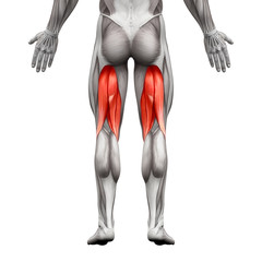 Hamstrings Male Muscles - Anatomy Muscle isolated on white