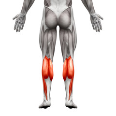 Calf Muscle Male - Gastrocnemius, Plantar Anatomy Muscle