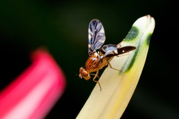 Macro photography showing a fruit fly