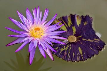 Macro photography showing Lotus Flower