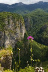 Flower with a canyon on background, Montenegro