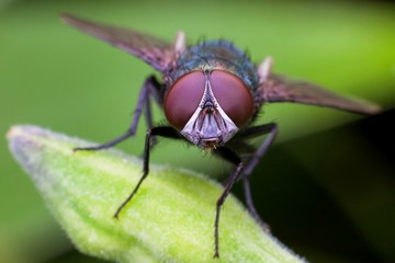 Macro photography showing a flesh fly