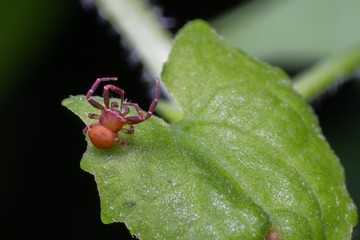 Macro photography showing a red spider
