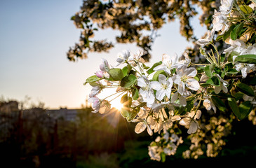 beautiful flowers of apple trees in the rays of of the setting sun warm spring evening closeup